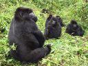 gorillas-2