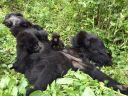 gorillas-3